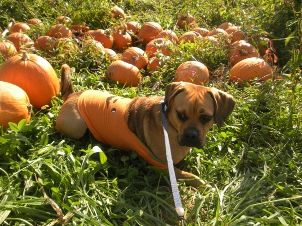 cute pumpkin puggle