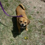 I am the HAPPIEST Puggle around :)